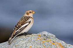 Snow Bunting photographed at Fort le Crocq on 24/10/2008. Photo: © Paul Hillion