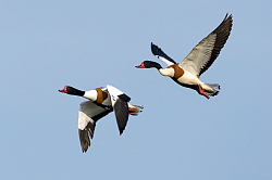 Shelduck photographed at La Clare Mare NR on 7/5/2008. Photo: © Paul Hillion
