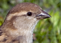 House Sparrow photographed at Pembroke on 0/0/0. Photo: © Paul Hillion