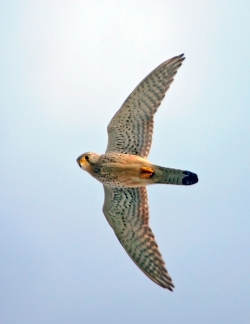 Kestrel photographed at Fort Hommet on 0/0/0. Photo: © Paul Hillion