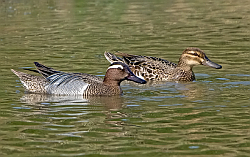 Garganey photographed at Rue des Bergers NR on 11/5/2008. Photo: © Paul Hillion
