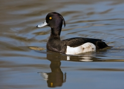 Tufted Duck. Photo: © Paul Hillion