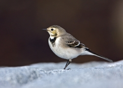 Pied Wagtail photographed at Fort le Crocq on 0/0/0. Photo: © Paul Hillion