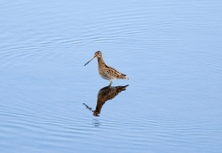 Snipe photographed at Vale Pond on 0/0/0. Photo: © Paul Hillion