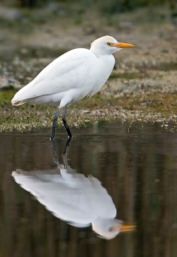 Cattle Egret photographed at Rue des Bergers NR on 0/0/0. Photo: © Paul Hillion