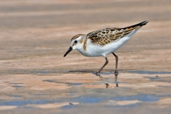 Little Stint photographed at Vazon Bay on 0/0/0. Photo: © Paul Hillion