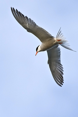 Common Tern photographed at St Sampson on 23/6/2008. Photo: © Paul Hillion
