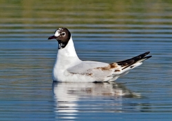 Black-headed Gull photographed at La Claire Mare on 0/0/0. Photo: © Paul Hillion