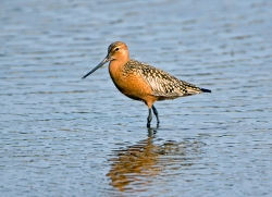 Bar-tailed Godwit photographed at La Claire Mare on 0/0/0. Photo: © Paul Hillion