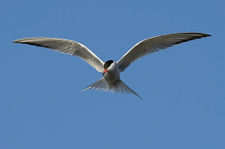 Common Tern photographed at St Sampson on 22/6/2008. Photo: © Paul Hillion