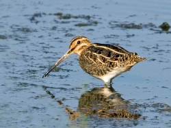 Snipe photographed at La Claire Mare on 0/0/0. Photo: © Paul Hillion