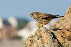 Kestrel photographed at Albecq on 0/0/0. Photo: © Paul Hillion