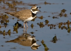 Little Ringed Plover photographed at La Claire Mare on 0/0/0. Photo: © Paul Hillion