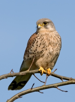 Kestrel photographed at Saumarez Park Nature Trail on 0/0/0. Photo: © Paul Hillion