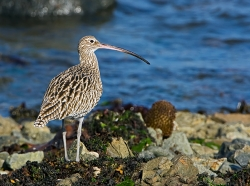 Curlew photographed at Bellegreve Bay on 0/0/0. Photo: © Paul Hillion