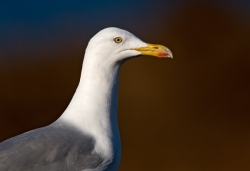 Herring Gull photographed at Cobo Bay on 0/0/0. Photo: © Paul Hillion