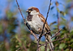 House Sparrow photographed at L'Eree on 0/0/0. Photo: © Paul Hillion