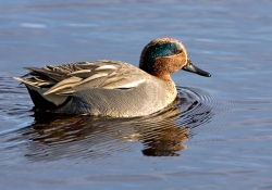 Teal photographed at La Claire Mare on 0/0/0. Photo: © Paul Hillion