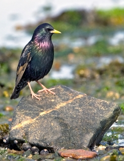 Starling photographed at Bellegreve Bay on 0/0/0. Photo: © Paul Hillion