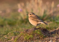 Wheatear photographed at Pleinmont on 0/0/0. Photo: © Paul Hillion