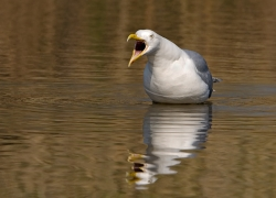 Herring Gull photographed at Rue des Bergers NR on 0/0/0. Photo: © Paul Hillion