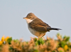 Whitethroat photographed at Pleinmont on 0/0/0. Photo: © Paul Hillion