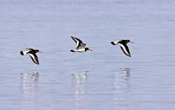 Oystercatcher photographed at Bellegreve Bay on 0/0/0. Photo: © Paul Hillion