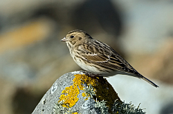 Lapland Bunting photographed at Pulias on 11/10/2008. Photo: © Paul Hillion