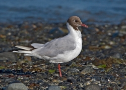 Black-headed Gull photographed at Bellegreve Bay on 0/0/0. Photo: © Paul Hillion