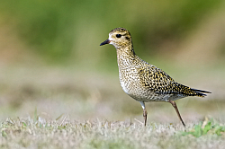 Golden Plover photographed at Pleinmont on 28/9/2008. Photo: © Paul Hillion