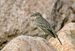 Rock Pipit photographed at Vazon Bay on 0/0/0. Photo: © Paul Hillion