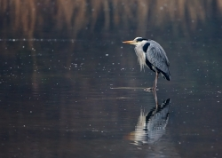 Grey Heron photographed at Rue des Bergers NR on 0/0/0. Photo: © Paul Hillion