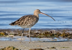 Curlew photographed at L'Eree on 0/0/0. Photo: © Paul Hillion