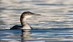 Great Northern Diver photographed at St Peter Port Harbour on 27/1/2008. Photo: © Paul Hillion