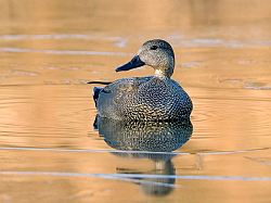 Gadwall photographed at Rue des Bergers on 17/2/2008. Photo: © Paul Hillion