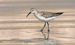 Curlew Sandpiper photographed at Vazon Bay on 0/0/0. Photo: © Paul Hillion
