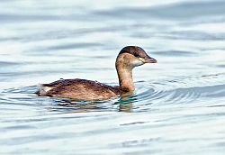 Little Grebe photographed at St Peter Port Harbour on 20/1/2008. Photo: © Paul Hillion