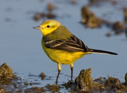 Yellow Wagtail photographed at La Claire Mare on 0/0/0. Photo: © Paul Hillion