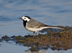 Pied Wagtail photographed at La Claire Mare on 0/0/0. Photo: © Paul Hillion