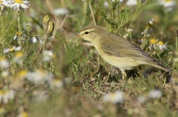 Willow Warbler. Photo: © Steve Levrier