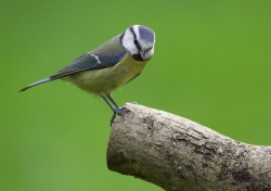Blue Tit. Photo: © Steve Levrier