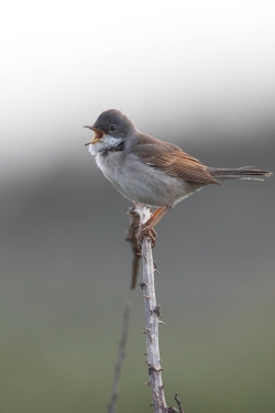Whitethroat. Photo: © Steve Levrier
