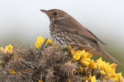 Song Thrush. Photo: © Steve Levrier
