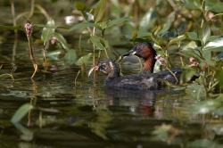 Little Grebe. Photo: © Steve Levrier