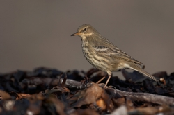 Rock Pipit. Photo: © Steve Levrier