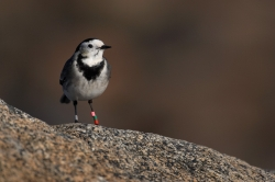 Pied Wagtail. Photo: © Steve Levrier