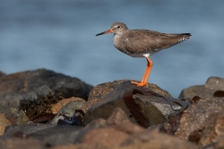 Redshank. Photo: © Steve Levrier