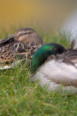 Mallard. Photo: © Steve Levrier