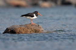 Oystercatcher. Photo: © Steve Levrier