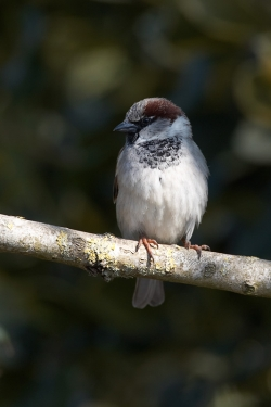 House Sparrow. Photo: © Steve Levrier